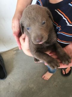 Labrador Retriever PUPPY FOR SALE ADN-88785 - AKC registered Silver Labrador puppies