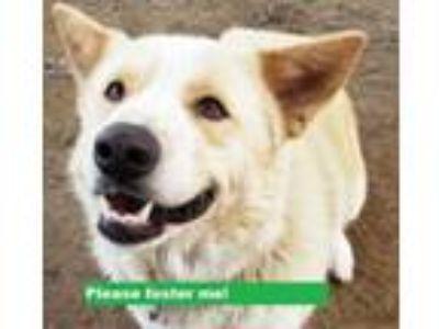 Adopt Gizmo a Akita, Australian Cattle Dog / Blue Heeler