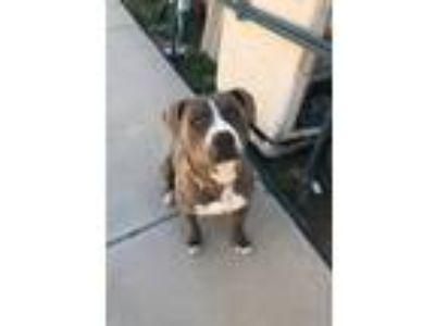 Adopt Duke a Gray/Blue/Silver/Salt & Pepper American Pit Bull Terrier / American