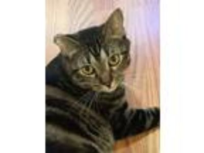 Adopt GIGI a Brown Tabby Domestic Shorthair / Mixed (short coat) cat in