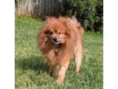 Adopt Mason a Pomeranian, Mixed Breed
