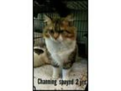 Adopt Channing a American Shorthair