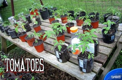 $1, ORGANIC Vegetable Plants for your garden