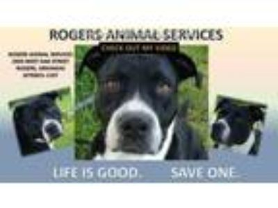 Adopt DONNER a Black - with White American Pit Bull Terrier / Mixed dog in