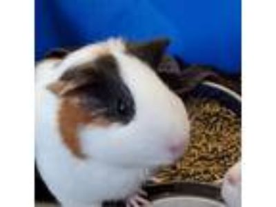 Adopt Pebbles a Brown or Chocolate Guinea Pig / Guinea Pig / Mixed small animal