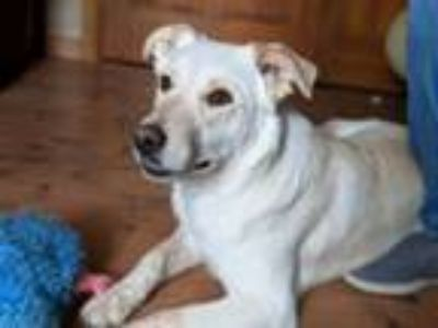 Adopt Bruno a Tan/Yellow/Fawn Labrador Retriever / Cattle Dog / Mixed dog in