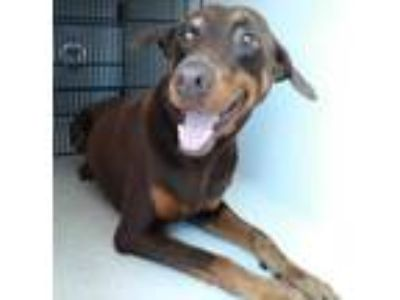 Adopt a Brown/Chocolate - with Tan Doberman Pinscher / Mixed dog in Houston