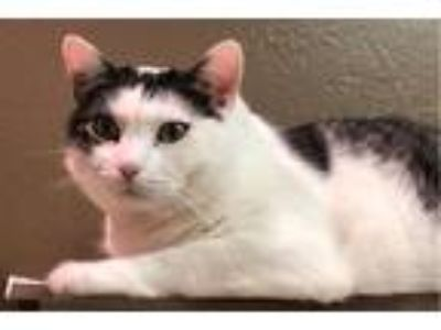 Adopt Mama a White (Mostly) Domestic Shorthair (short coat) cat in Crystal Lake