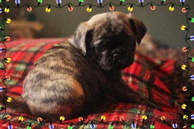 Pug PUPPY FOR SALE ADN-106891 - Dusty Brindle Male Pug