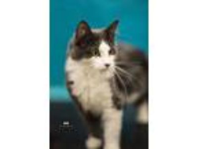 Adopt Cutie Brownplus 0618 a Domestic Short Hair