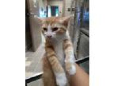 Adopt KIT-1 a Orange or Red Domestic Shorthair / Domestic Shorthair / Mixed cat