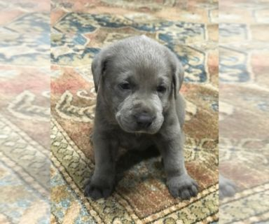 Labrador Retriever PUPPY FOR SALE ADN-129021 - AKC Silver  Lab Puppies