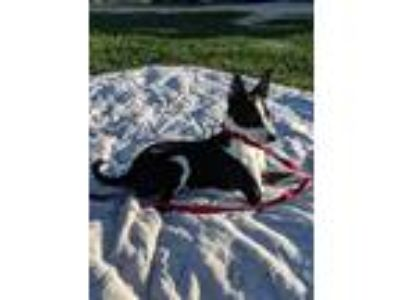 Adopt Poppy a Black - with White Terrier (Unknown Type, Small) / Mixed dog in