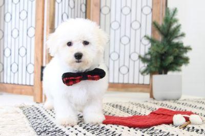 Bichon Frise PUPPY FOR SALE ADN-104659 - Buddy Handsome AKC Bichon Puppy