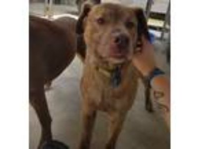 Adopt Harley a Brown/Chocolate - with Tan Golden Retriever / Labrador Retriever