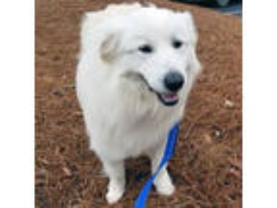 Adopt Ripley a Great Pyrenees