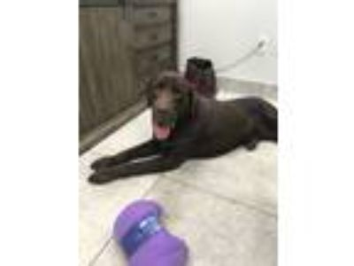 Adopt Lamar a Chocolate Labrador Retriever