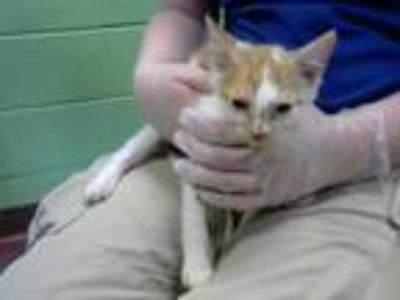 Adopt NUTMEG a Domestic Short Hair