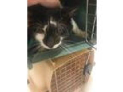 Adopt Melvin a Brown or Chocolate Domestic Mediumhair / Domestic Shorthair /