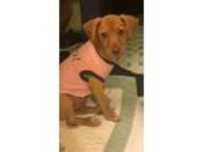 Adopt Honey a Tan/Yellow/Fawn - with White Labrador Retriever / Retriever