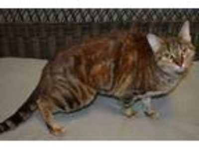 Adopt Ginger a Brown or Chocolate Domestic Shorthair / Domestic Shorthair /
