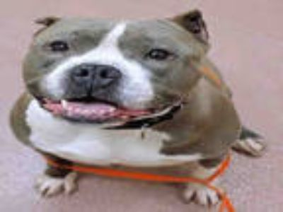 Adopt STILETTO a Gray/Silver/Salt & Pepper - with White American Pit Bull