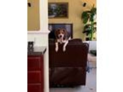 Adopt Bagel a Brown/Chocolate - with White Beagle / Beagle dog in Glen Allen