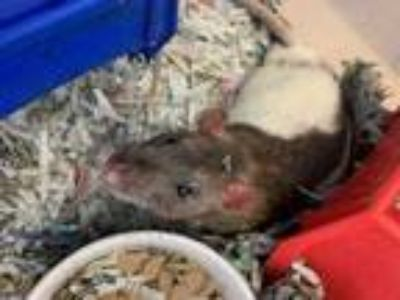 Adopt Bandit a Brown or Chocolate Rat / Rat / Mixed small animal in Largo