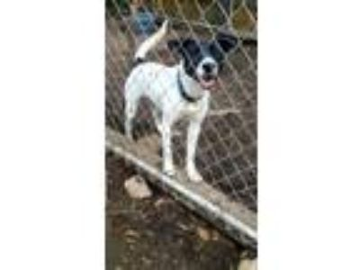 Adopt Jessie a White - with Black Border Collie / Dalmatian / Mixed dog in