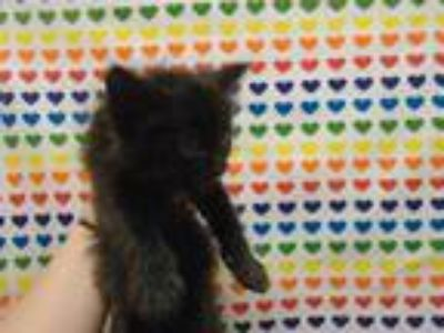 Adopt CASH a All Black Domestic Shorthair / Mixed (short coat) cat in Fairfield