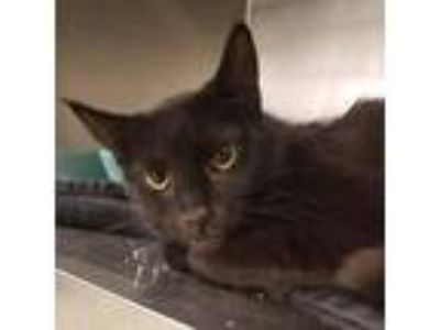 Adopt Shannon a All Black Domestic Shorthair / Domestic Shorthair / Mixed cat in