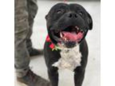 Adopt Tank a Black Pit Bull Terrier dog in Fresno, CA (25753862)