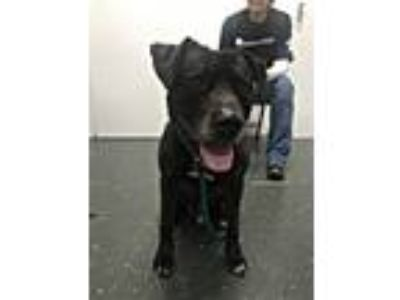 Adopt Bear a Black Labrador Retriever / Pit Bull Terrier / Mixed dog in Park