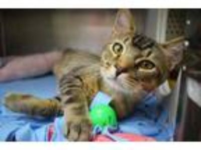 Adopt Flo Rida a Brown or Chocolate Abyssinian / Domestic Shorthair / Mixed cat
