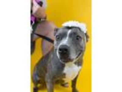 Adopt Jingle Belle a Terrier, Pit Bull Terrier