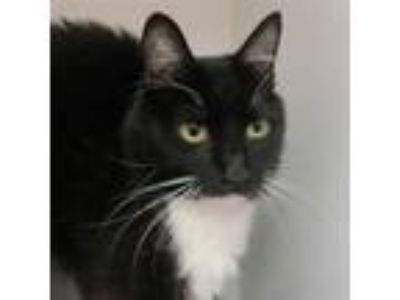 Adopt Jon Snow a Domestic Shorthair / Mixed (short coat) cat in Troutdale