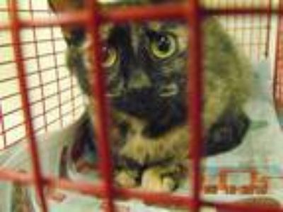 Adopt COFFEE a Brown Tabby Domestic Shorthair / Mixed (short coat) cat in