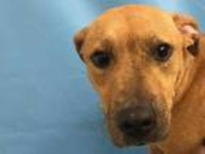 Adopt Lucy a Red/Golden/Orange/Chestnut American Pit Bull Terrier / Mixed dog in