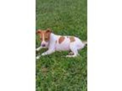 Adopt MAGPIE a American Staffordshire Terrier / Mixed dog in Palm Harbor