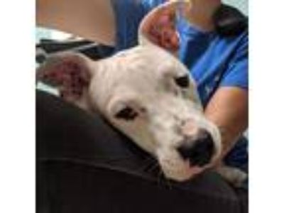 Adopt Georgie a White American Pit Bull Terrier / Mixed dog in Washington