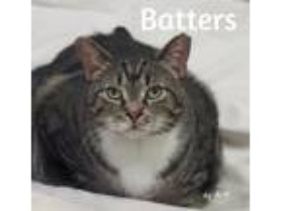 Adopt Batters a Domestic Short Hair