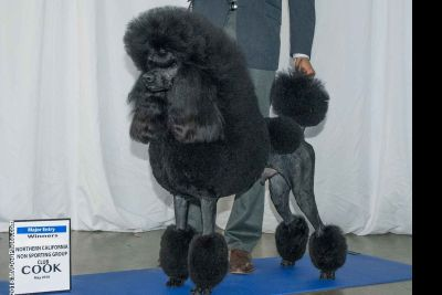 BLACK STANDARD Poodle Puppies