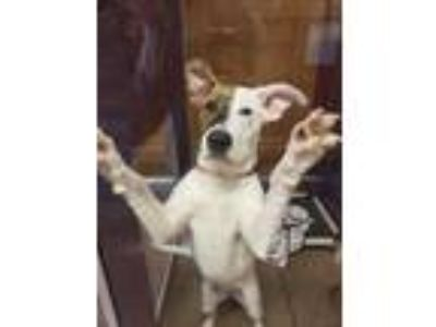 Adopt Diamond a White American Pit Bull Terrier / Mixed dog in Auburn