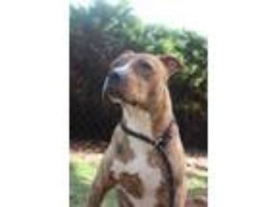Adopt Allison a Brindle Mixed Breed (Medium) / Mixed dog in Anderson