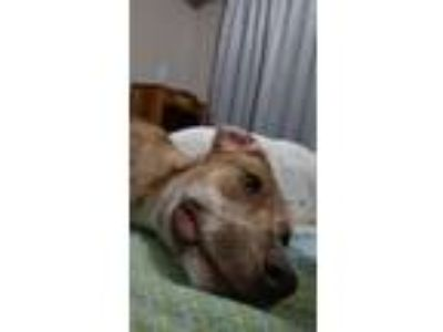 Adopt Lily a Brown/Chocolate - with White American Pit Bull Terrier / Mixed dog