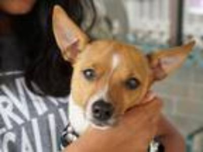 Adopt Rhythm a Jack Russell Terrier