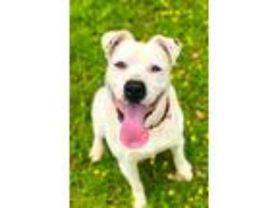 Adopt Thor a White - with Black Pit Bull Terrier / Boxer / Mixed dog in Redmond