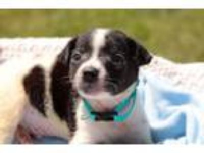 Adopt Griffin a Cattle Dog