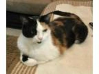 Adopt zz - Lilly (and Max) (courtesy listing) a Calico, Domestic Short Hair
