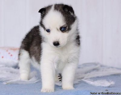 Cute Red Siberian Husky Puppy Pictures